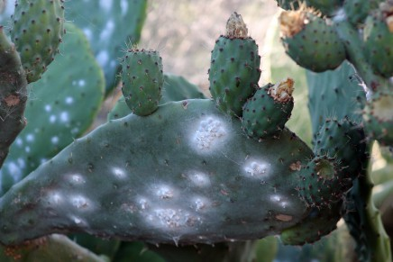 feigenkaktus-tunera-opuntia-ficus-indica-la-palma-cochenille