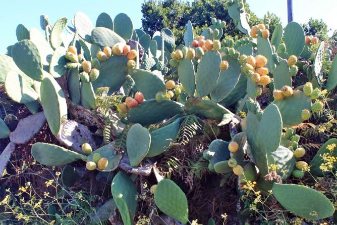 feigenkaktus-tunera-opuntia-ficus-indica-la-palma-scheibenkaktus