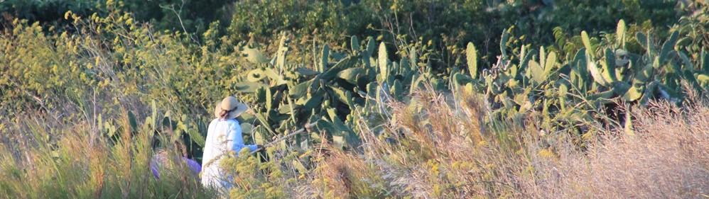 Feigenkaktus – Lieferant vitaminreicher Delikatessen - La Palma Travel