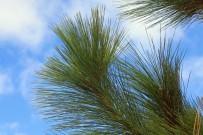 kanarische-kiefer-pino-canario-Pinus-canariensis-la-palma-nadeln-pinillos