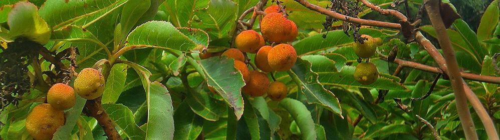 Canary Strawberry Tree - La Palma Travel