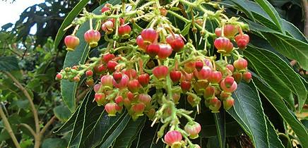 kanarischer-erdbeerbaum-madrono-arbutus-canariensis-la-palma