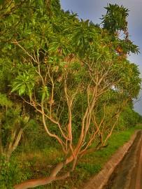 kanarischer-erdbeerbaum-madrono-arbutus-canariensis-lorbeerwald-la-palma