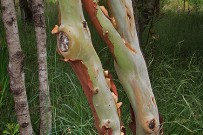 kanarischer-erdbeerbaum-madrono-arbutus-canariensis-stamm-rinde-la-palma