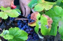 obst-gemuese-weintrauben-campo-landwirtschaft-la-palma-kanaren-lese-vendimia