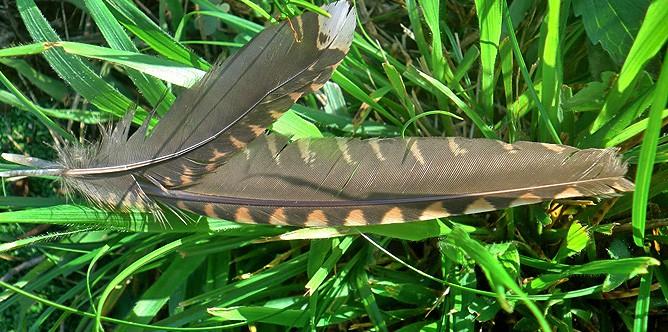 turmfalke-cernicalo-falco-tinnunculus-canariensis-federn
