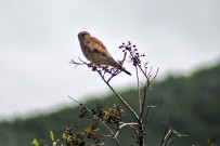 turmfalke-cernicalo-falco-tinnunculus-canariensis-greifvogel