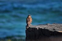 turmfalke-cernicalo-falco-tinnunculus-canariensis-habitat