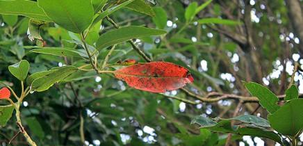 vinatigo-persea-indica-indische-persea-blaetter