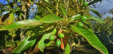 vinatigo-persea-indica-indische-persea-fruechte