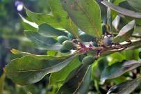 vinatigo-persea-indica-indische-persea-unreife-fruechte