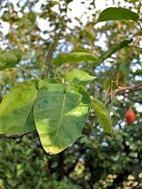 baumtomate-tamarillo-solanum-betaceum-cyphomandra-betacea-blaetter