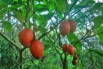 baumtomate-tamarillo-solanum-betaceum-cyphomandra-betacea-fruechte