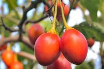 baumtomaten-tamarillo-solanum-betaceum-cyphomandra-betacea-fruechte