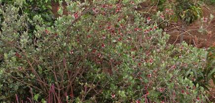 brasilianische-guave-feijoastrauch-acca-sellowiana