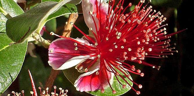 brasilianische-guave-feijoastrauch-acca-sellowiana-ananasguave-bluete