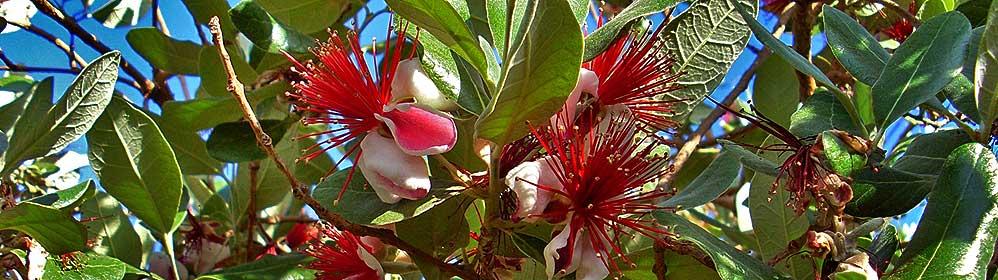 Brasilianische Guave - La Palma Travel