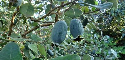 brasilianische-guave-feijoastrauch-anasguave-guayaba-verde