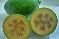 brasilianische-guave-feijoastrauch-anasguave-guayaba-verde-acca-sellowiana