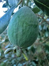 brasilianische-guave-feijoastrauch-anasguave-guayaba-verde-frucht