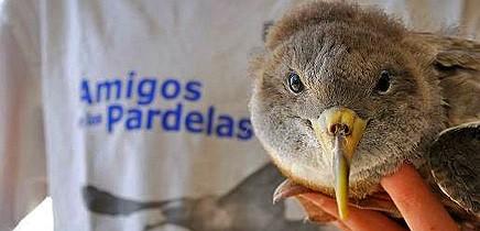 gelbschnabelsturmtaucher-pardela-cenicienta-calonectris-diomedea-amigos-la-palma