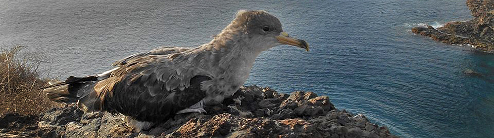 The Cory's Shearwater - La Palma Travel