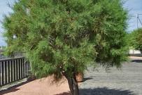 kanarische-tamariske-tarajal-tamarix-canariensis-fajana-barlovento