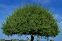 kanarische-tamariske-tarajal-tamarix-canariensis-krone