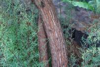 kanarische-tamariske-tarajal-tamarix-canariensis-stamm