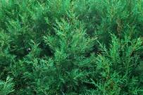 kanarische-tamariske-tarajal-tamarix-canariensis-zweige