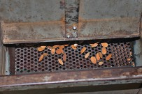 mandeln-prunus-dulcis-knackmaschine-cascadora-de-almendras