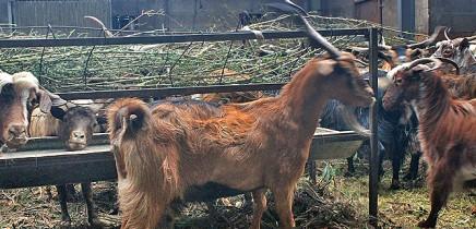 luna-de-awara-garafia-cabras-comedero