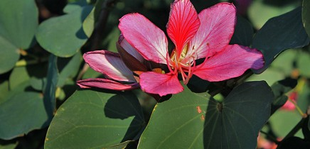 arbol-de-orquidea-orchideenbaum-bauhinia-variegata-flor