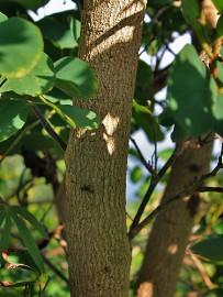 arbol-de-orquidea-orchideenbaum-bauhinia-variegata-tronco