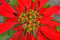flor-de-pascua-weihnachtsstern-christstern-la-palma