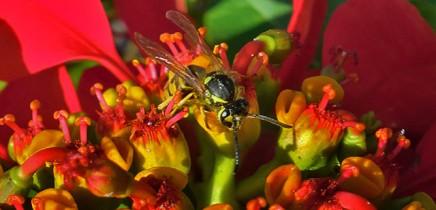 flor-de-pascua-weihnachtsstern-euphorbia-pulcherrima
