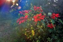 flor-de-pascua-weihnachtsstern-euphorbia-pulcherrima-strauch