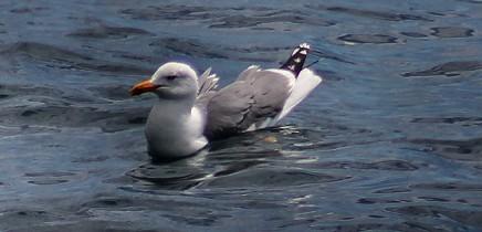 gaviota-patiamarilla-mittelmeermoewe-larus-michahellis-nadando