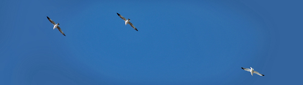Yellow-legged Gull - La Palma Travel
