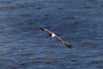 gaviota-patiamarilla-mittelmeermoewe-larus-michahellis-vuelo