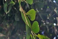 laurel-de-indias-indischer-lorbeer-ficus-microcarpa-hojas