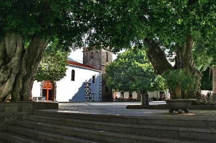 laurel-de-indias-indischer-lorbeer-ficus-microcarpa-iglesia-los-llanios-plaza