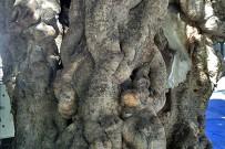 laurel-de-indias-indischer-lorbeer-ficus-microcarpa-tronco