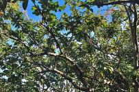 guayaba-echte-guave-psidium-guajava-baum-arbol