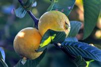 guayaba-echte-guave-psidium-guajava-frucht-reif