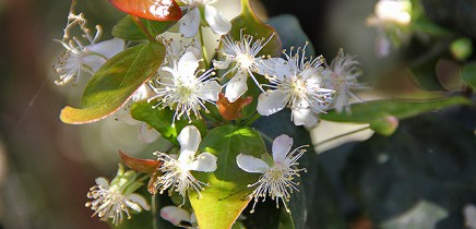 pitanga-eugenia-uniflora-surinamkirsche-kirschmyrte-blueten-gruene-blaetter