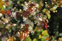 pitanga-eugenia-uniflora-surinamkirsche-kirschmyrte-blueten-rote-blaetter
