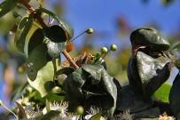 pitanga-eugenia-uniflora-surinamkirsche-kirschmyrte-bluetenknospen
