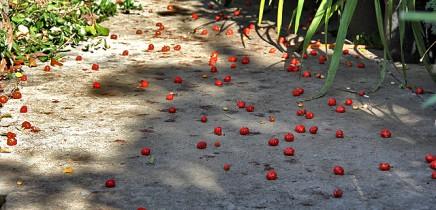 pitanga-eugenia-uniflora-surinamkirsche-kirschmyrte-fall-obst