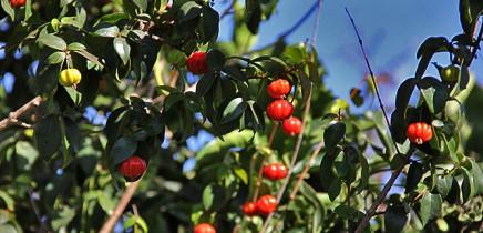 pitanga-eugenia-uniflora-surinamkirsche-kirschmyrtereife-unreife-fruechte